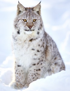 A fellow hunter: Beautiful lynx cub sits in the cold snow