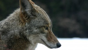 Excerpt from a Fire-Rider short story: She had surprised Seth by releasing a coyote, uninjured, from a trap.