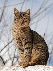 tabbycat